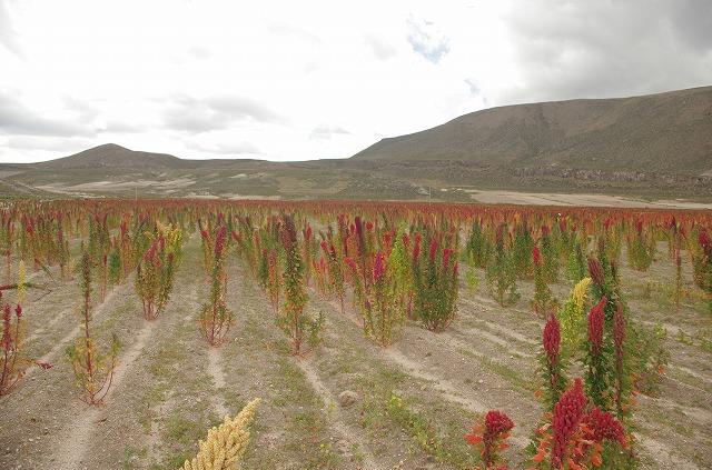 キヌアの畑